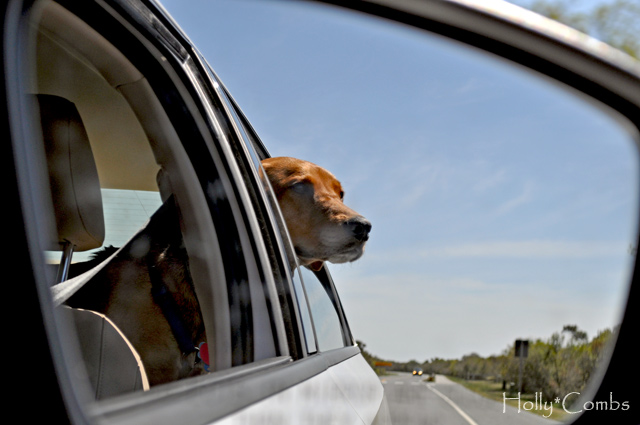 Puppy on a roadtrip.