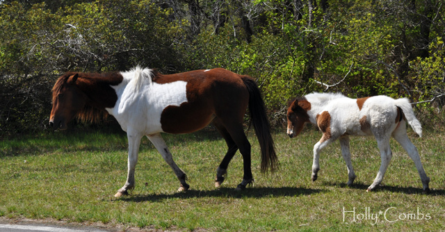 Wild ponies in Maryland.