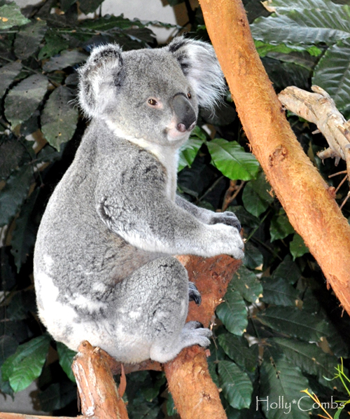 Who doesn't love a cuddly Koala.