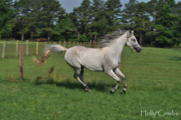 My Arabian filly running.