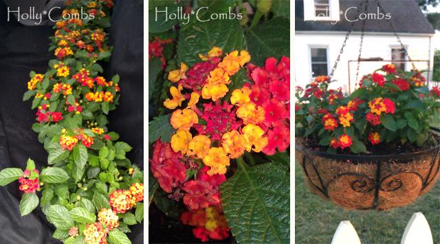 Lantana flowers added to our backyard.