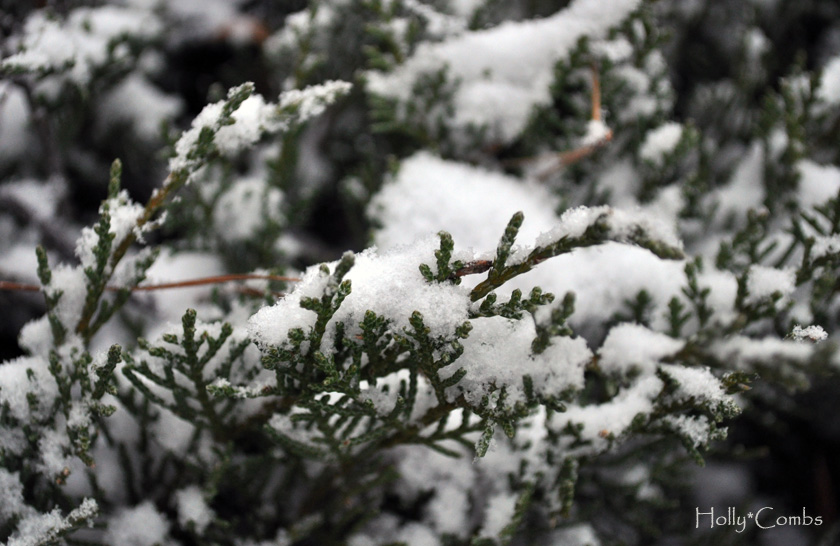 Snow on evergreens.