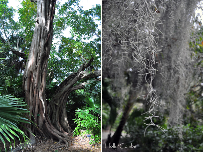 Old trees and spanish moss in Florida.