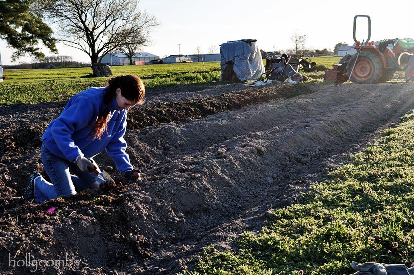 Planting potatoes.